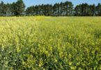 A field of carinata.