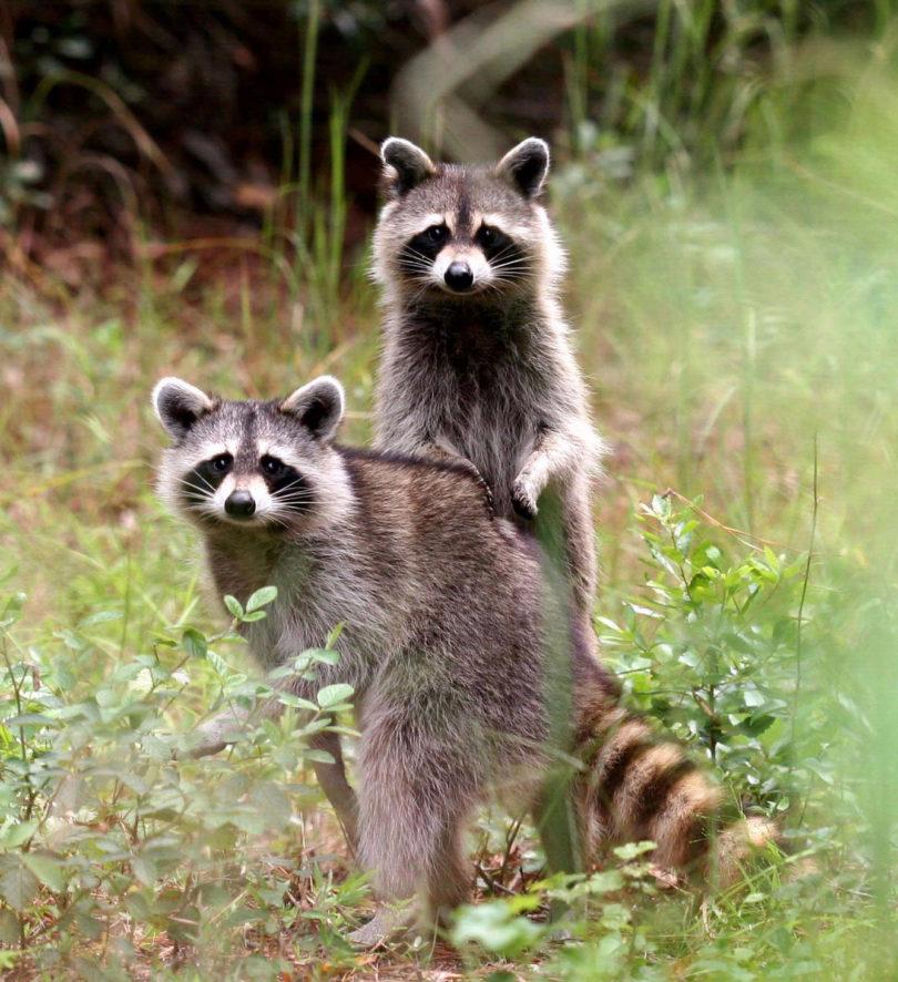 Warnell raccoons-v
