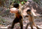 Fragaszy capuchin tool research adult cracks juvenile watches-h.photo