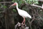 Altamaha-White-Ibis-h.env