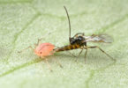 Aphid-wasp interaction