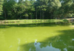 Algal bloom Atkinson farm pond Susan Wilde-h.photo