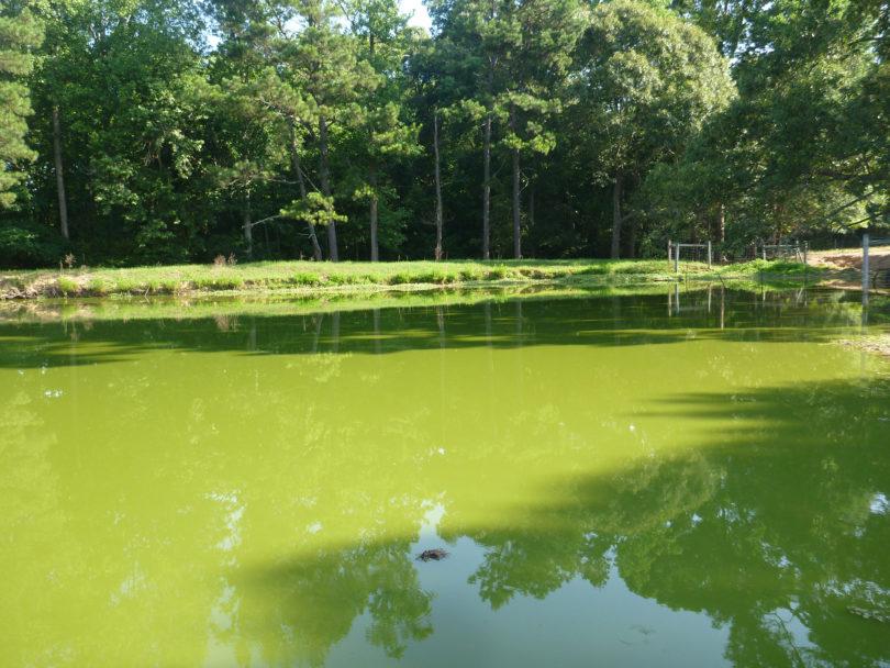 Algal bloom Atkinson farm pond Susan Wilde-h.photo