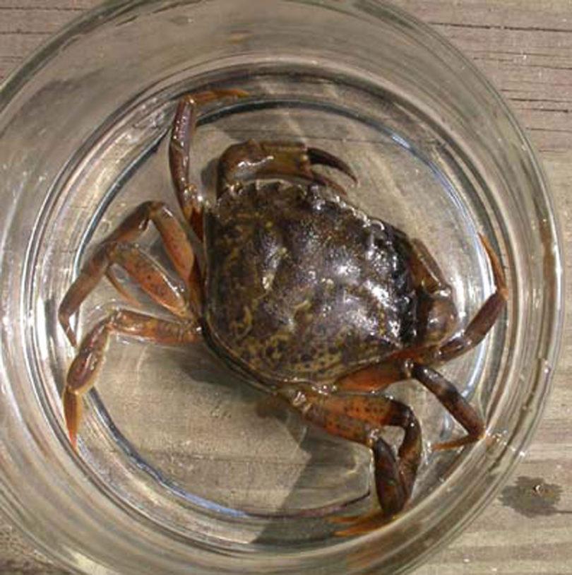 European green crab ecology 09262011-v.crab