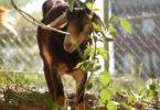 Chew Crew - goats on campus Rita Richardson1-h.env
