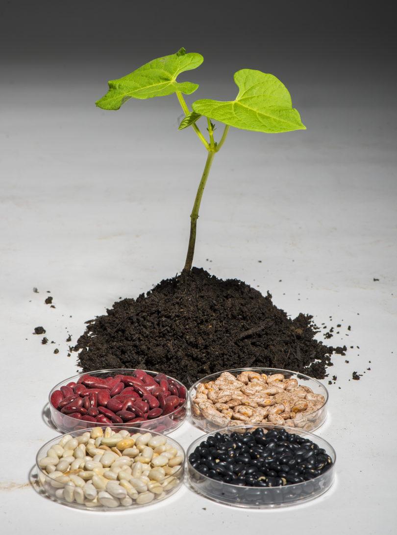 Common bean-UC Berkley image-2014-v.photo