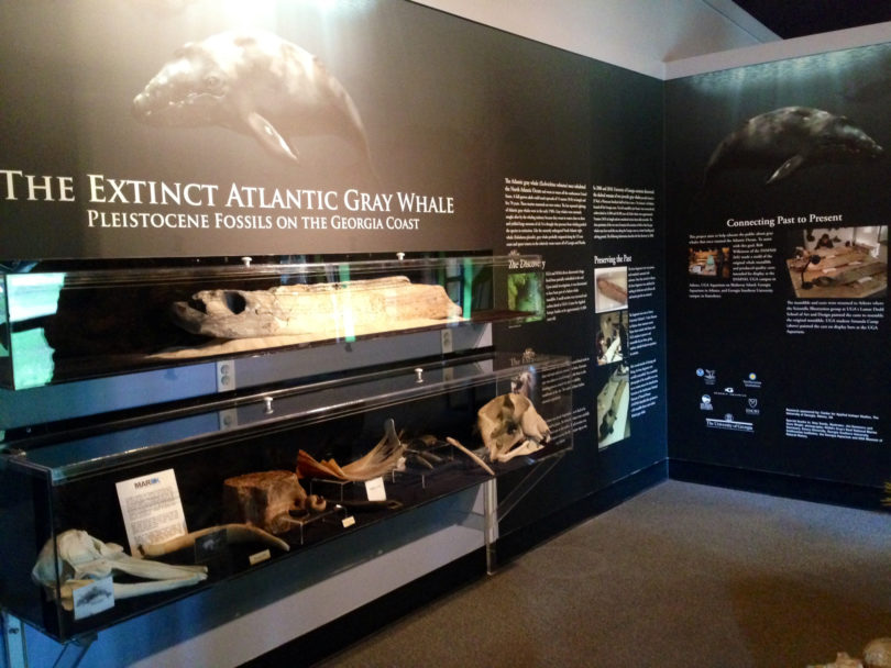 Gray Whale Exhibit Skidaway bone-h