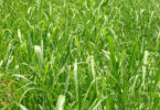 Johnsongrass in field USDA-v.photo