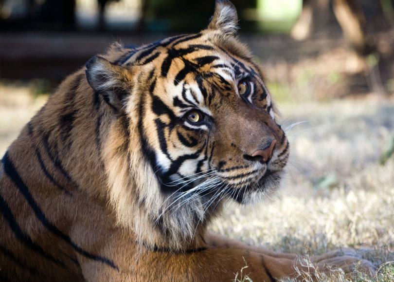 Zoo Atlanta Kavi Sumatrian tiger-h.photo