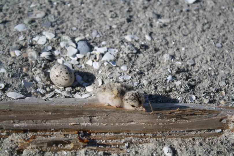 Least tern chick Aroclor 1268-h.photo