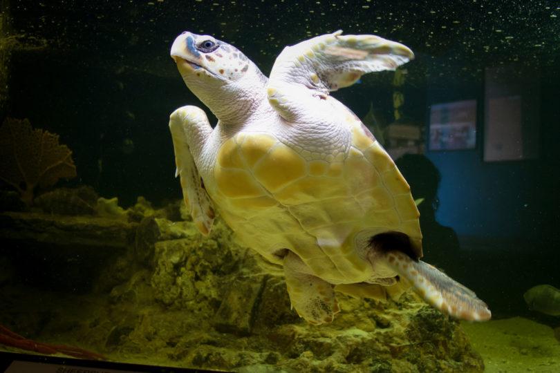 Rider the Sea Turtle swimming-h