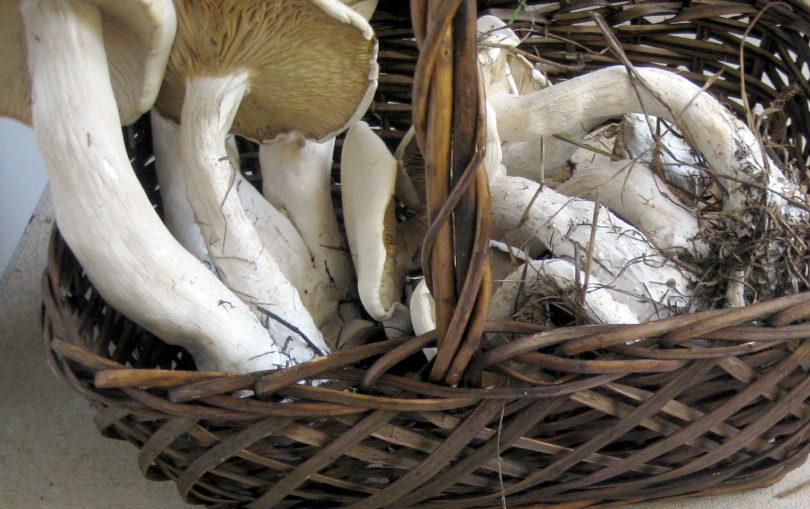 Macrocybe titans mushrooms in basket 2012-h.photo