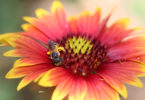 National Pollinator Week - bee on flower-h.action