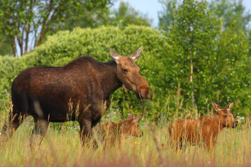 Chernobyl Exclusion Zone moose family-h.photo
