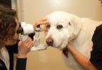 Vet Med National Service Animal Eye Exam Nellie Grace-h.photo