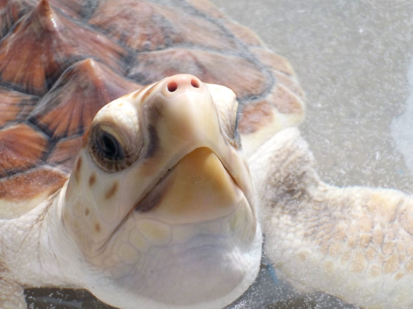 Skidaway Marine Science Day - Ossabaw the sea turtle-h.env