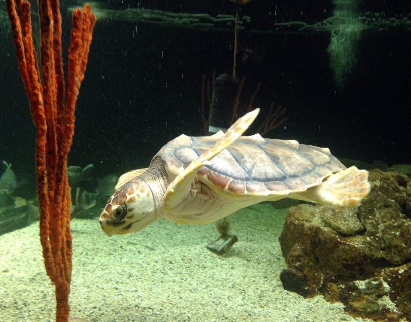 Ossabaw Juvenile turtle-h
