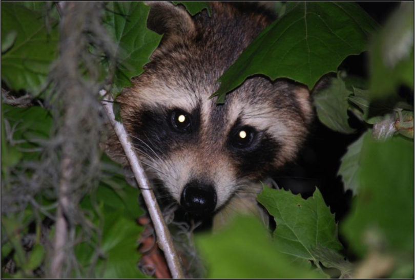 Raccoon hidden