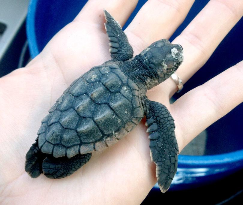 UGA aquarium Rider the sea turtle hatchling 2013-h.photo
