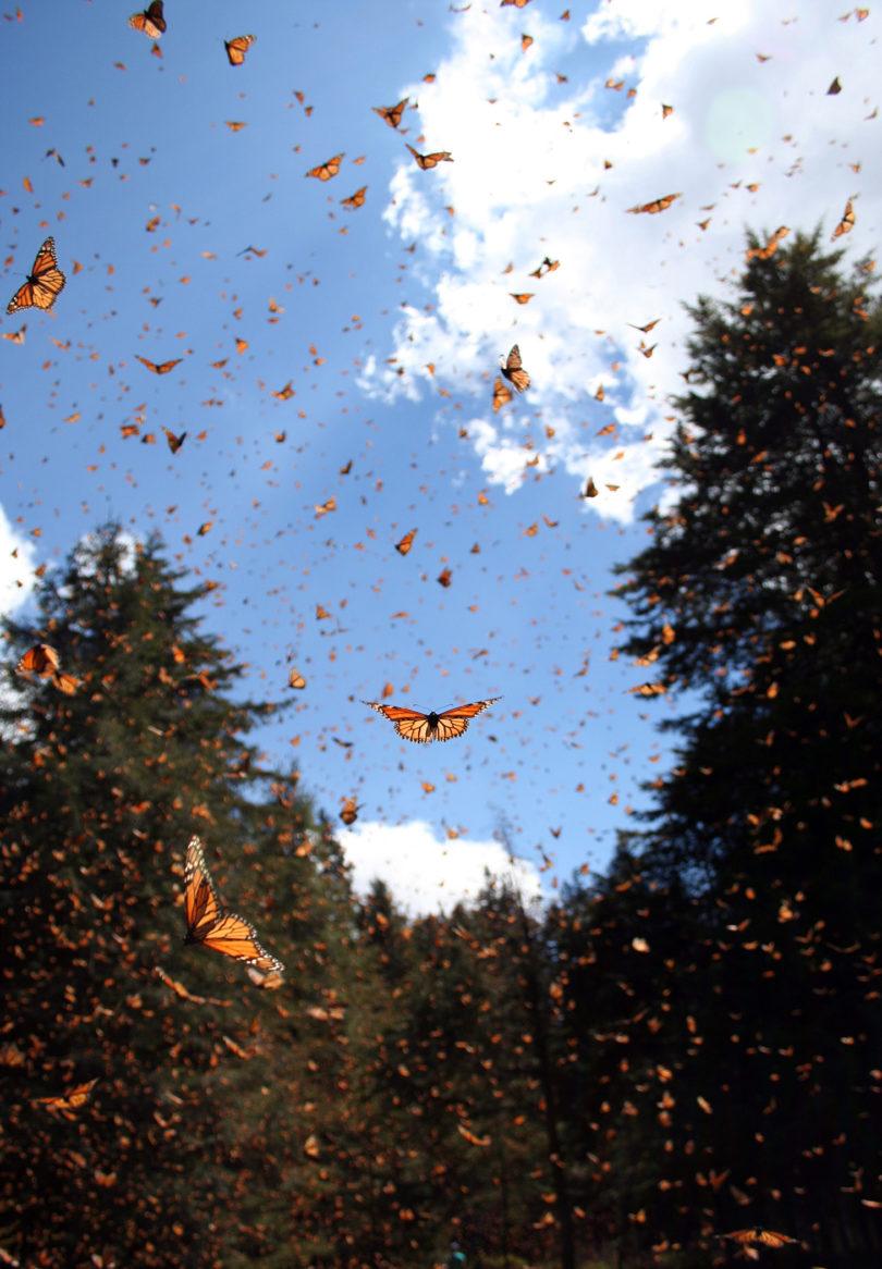 Monarchs in Mexico Sonia Altizer flight-v.photo
