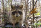SREL Raccoons1-h