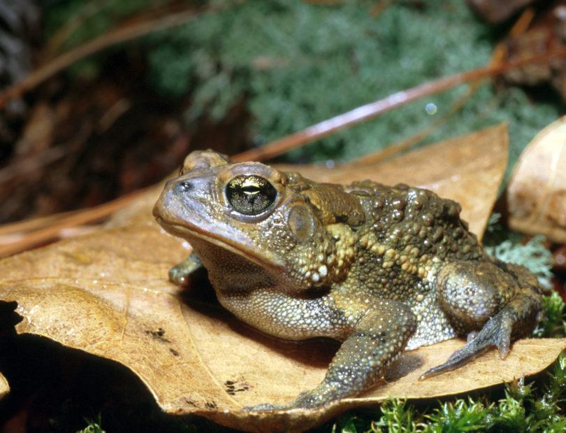 SREL southern toad-h.photo