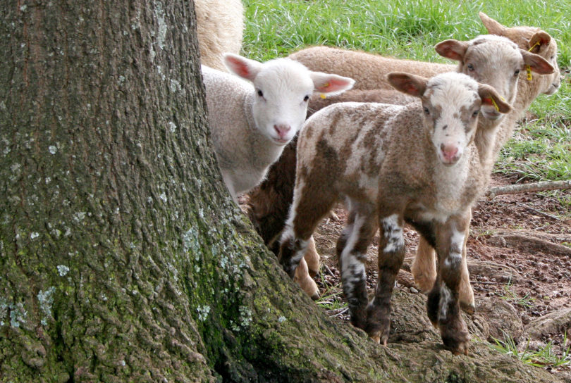 Extension - Smith Family Farm 1860s Gulf Coast sheep-h.env
