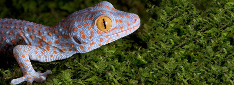 Tokay geckos can be health concern for pet owners