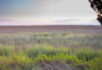 UGA Sapelo marsh grass-h