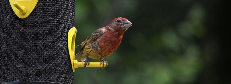 Feeding wildlife can affect risk of disease