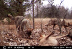 Beasley Chernobyl Exclusion Zone wolf pack-h.photo