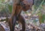 Capuchin monkey research 2013 monkey-v.action