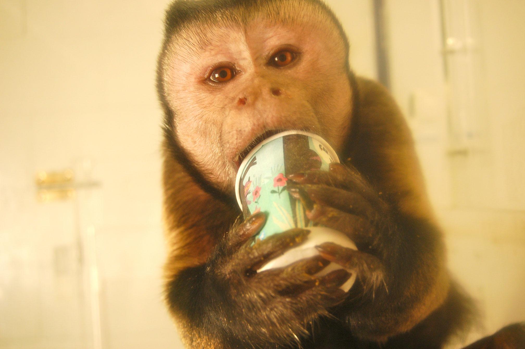 Tufted capuchin monkey