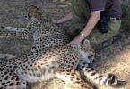 Cheetah reserve MaryAnn Radlinsky-v.photo