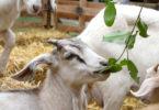 Chew Crew Goat closeup-h