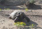 Desert Tortoise-v