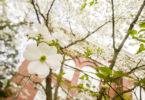 Flowering dogwood tree-h.photo