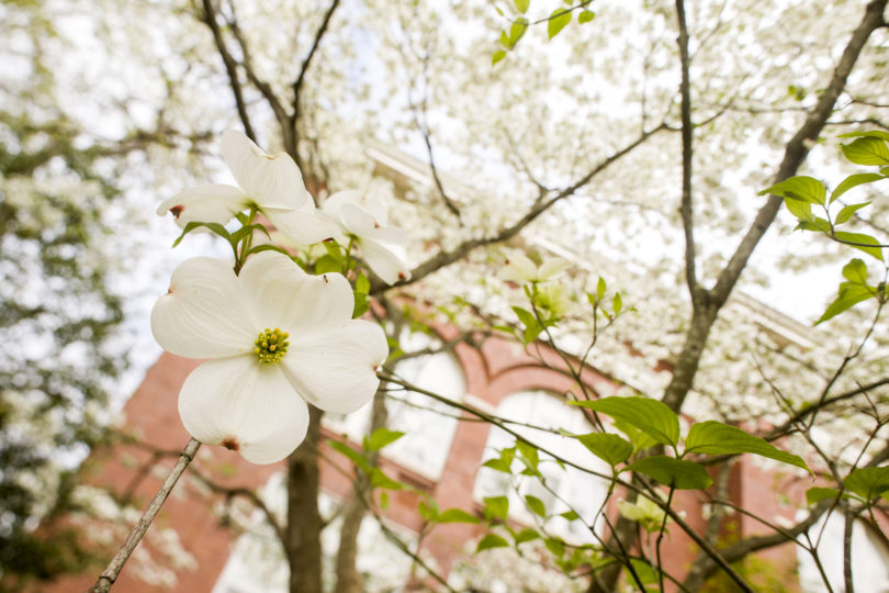 Flowering dogwood tree-h.photo
