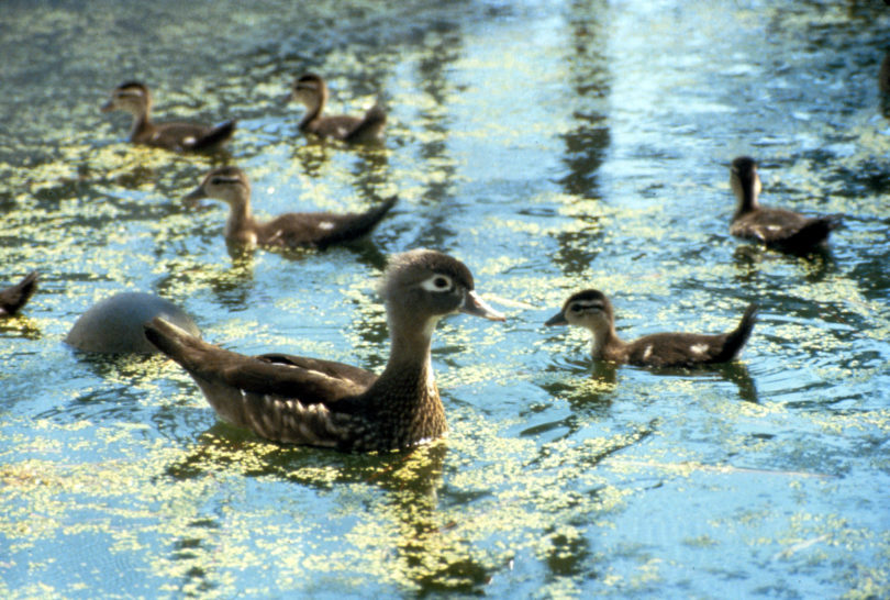 Wood duck with ducklings-h.photo