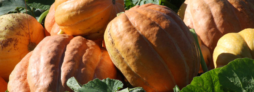 UGA pumpkin variety grows well for Georgia farmers
