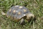 Gopher tortoise in grass SREL-h.photo