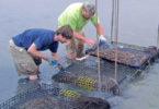 Oyster Hatchery Skidaway h. workers