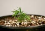 Hemlock seedling bigger Merkle-h.photo