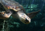 Loggerhead turtle 2013 by Sandi Martin-h.photo
