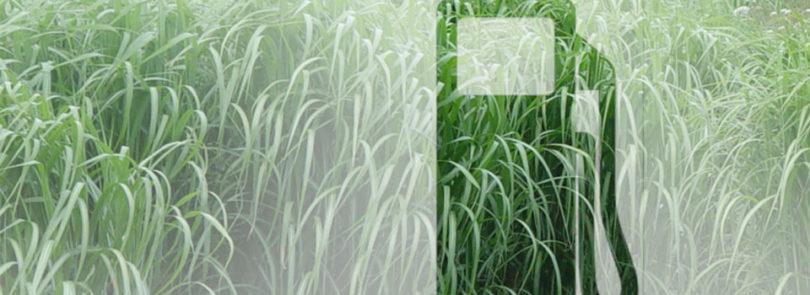 Miscanthus: Better Southeast biofuel crop