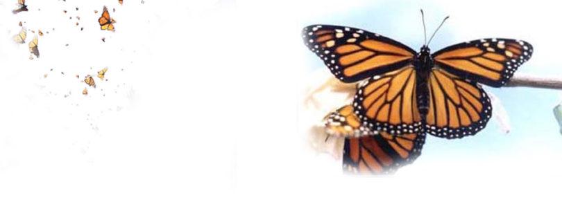 Missing monarchs