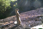 Mongoose invasive species SREL-h