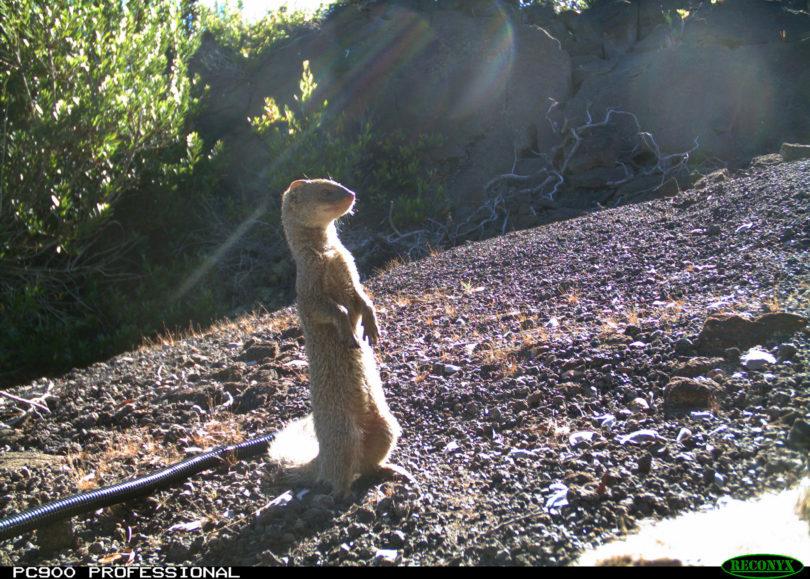 Mongoose invasive species SREL-h