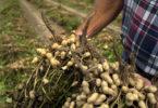 Peanuts freshly dug in Effingham County-v.photo