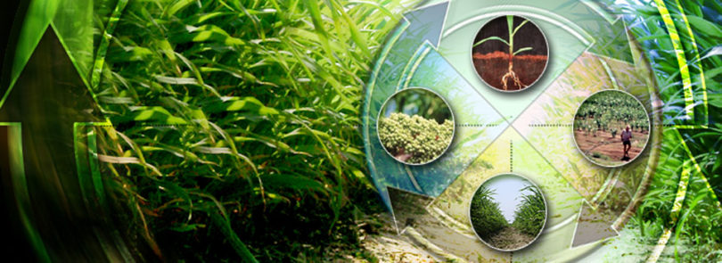 The sorghum solution